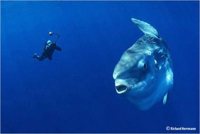 What Divers Shouldn't Do During Mola Mola Season Bali